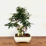 bomboniera bonsai pepper